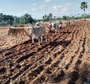 Dry Crops Seed Plantation At Mada Yedavalli