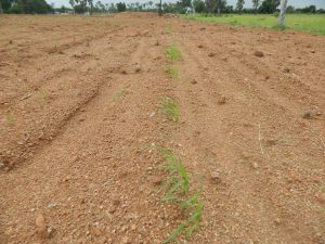 First Stage of Dry Crops at Yedavali Village